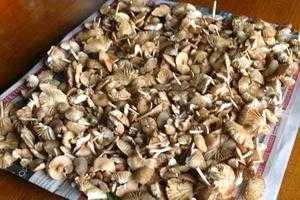У сезон опеньків можна запастися великою кількістю грибів. Їх маринують 4c32cae36c7c4
